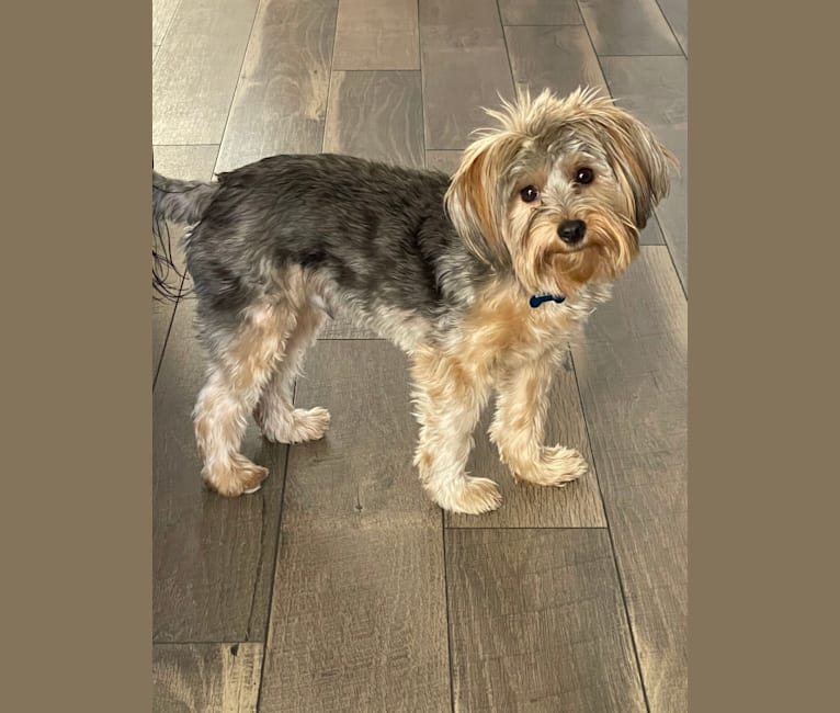 Photo of Baxter, a Yorkshire Terrier  in New Mexico, USA