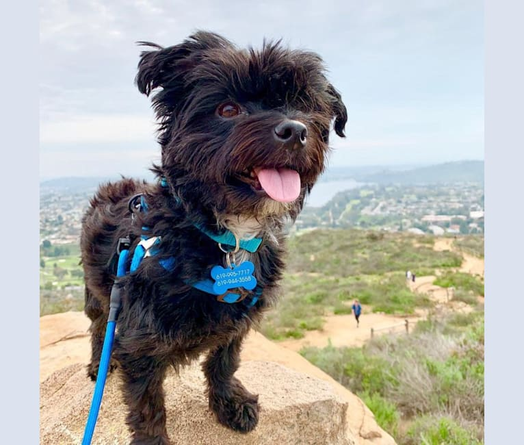 "Photo of Winston ""Winnie"" Robinson, a Morkie (3.1% unresolved) in San Diego, California, USA"