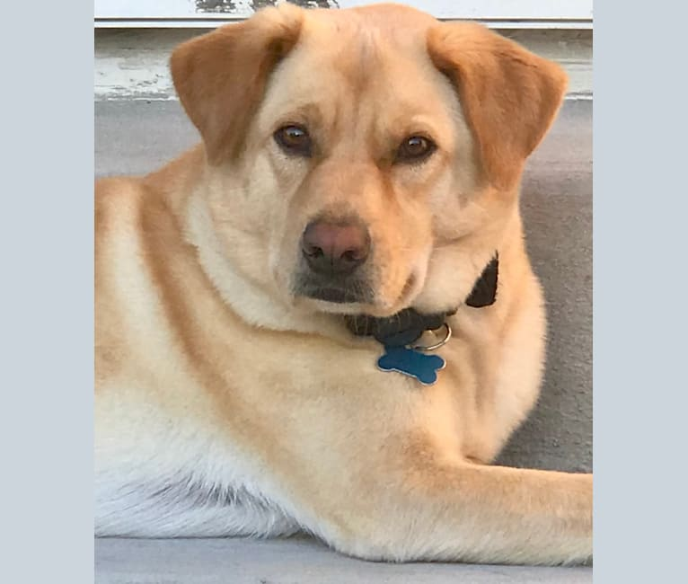 Photo of Angus, a Chow Chow, Labrador Retriever, Treeing Walker Coonhound, and Mixed mix in Medina, Ohio, USA