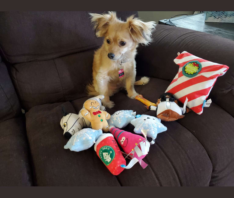 Photo of Rory, a Chihuahua, Poodle (Small), and Mixed mix in Lake Elsinore, California, USA