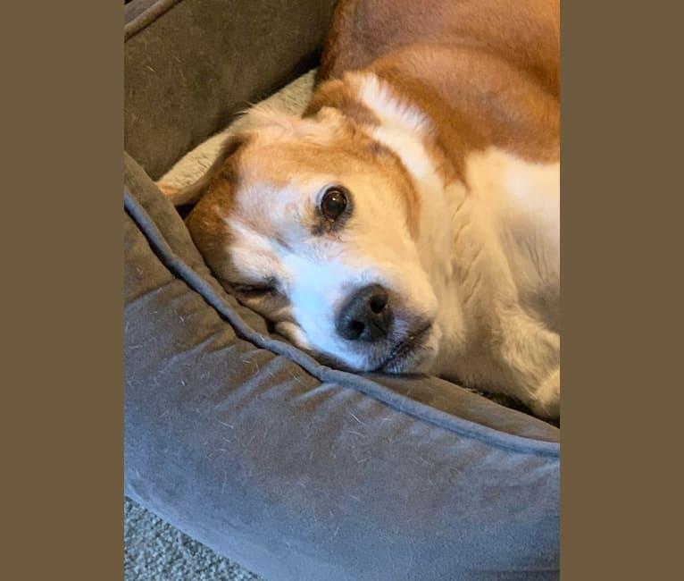 Photo of Marley, a Beagle  in Hillsboro, Oregon, USA