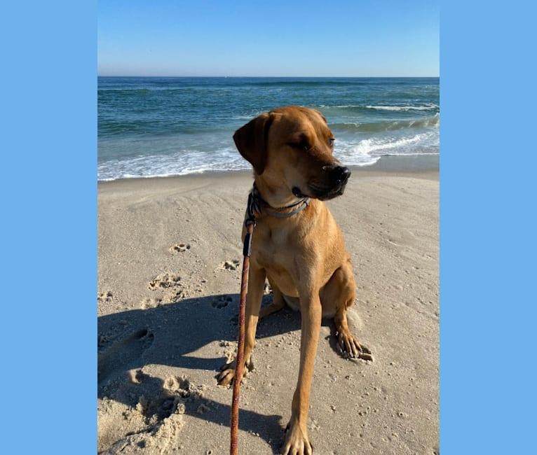 Photo of Hurley, a Rottweiler, Labrador Retriever, American Staffordshire Terrier, and Bulldog mix in Philadelphia, PA, USA