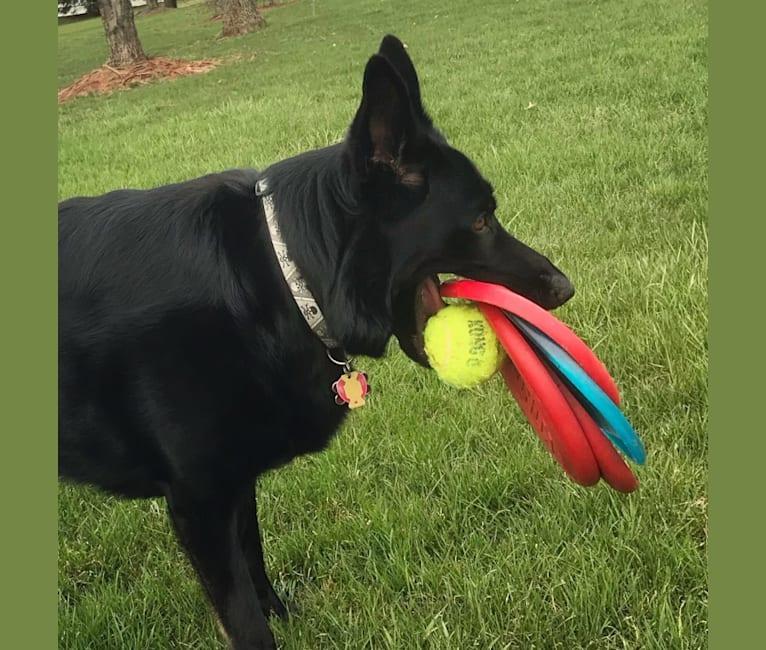 Photo of Selu-Wahya, a German Shepherd Dog  in New Jersey, USA
