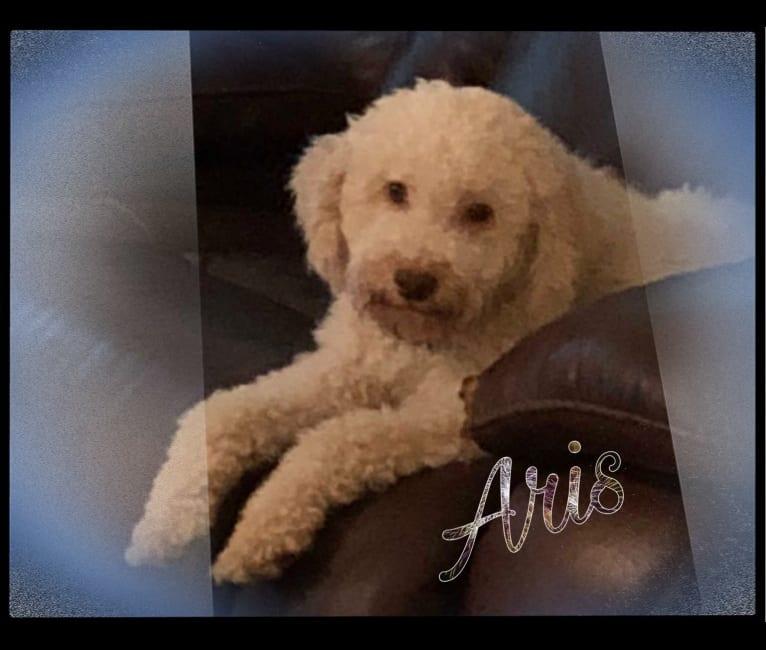 Photo of Aris, a Lagotto Romagnolo  in Summerfield, Florida, USA