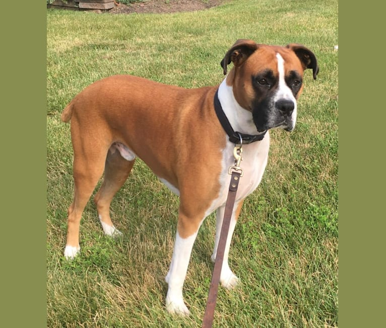 Photo of Gus, a Boxer  in Montgomery, New Jersey, USA