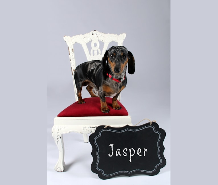 Photo of Jasper, a Dachshund  in Lyles, TN, USA