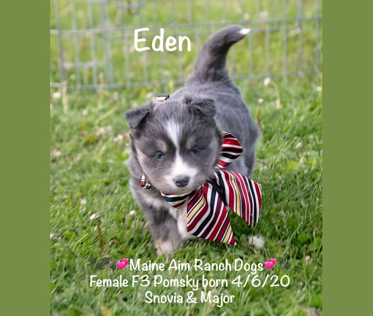 Photo of Grace, a Pomsky  in Maine Aim Ranch, King, Allerton, IA, USA