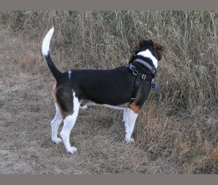 Photo of Bentley, a Beagle  in Collingwood, Ontario, Canada