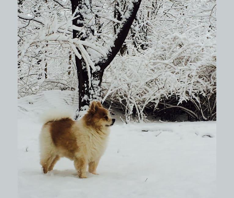 Photo of Techno, a Pomeranian