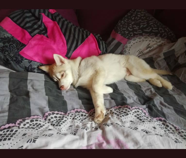 Photo of Simba, a Siberian Husky and Pomeranian mix in Veghel, Nederland