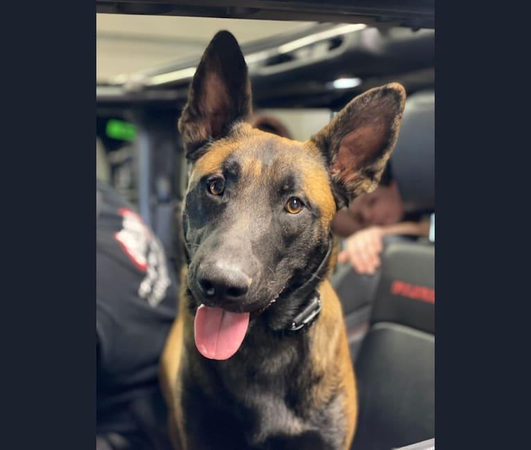 Photo of Jax, a Belgian Malinois, German Shepherd Dog, and American Staffordshire Terrier mix in Las Vegas, Nevada, USA