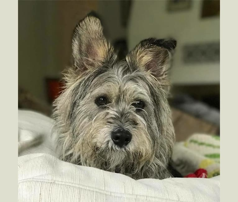 Photo of Gus, a Miniature Schnauzer, Chihuahua, Poodle (Small), Chow Chow, and Miniature Pinscher mix in California, USA