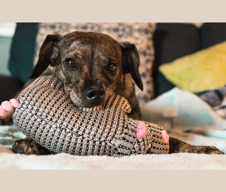 Photo of Audre, a Beagle, Miniature Schnauzer, Cocker Spaniel, and Mixed mix in Columbus, Ohio, USA