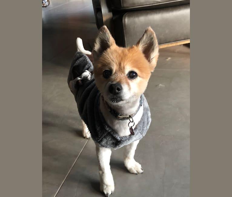 Photo of Budgie, a Pomeranian  in Louisville, Kentucky, USA
