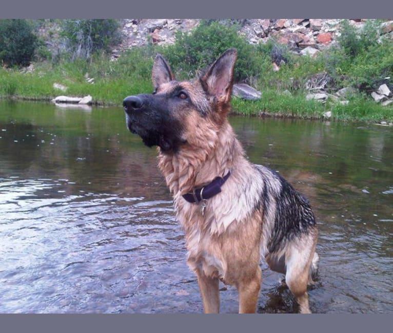 Photo of Roxy, a German Shepherd Dog  in Morgan Hill, California, USA