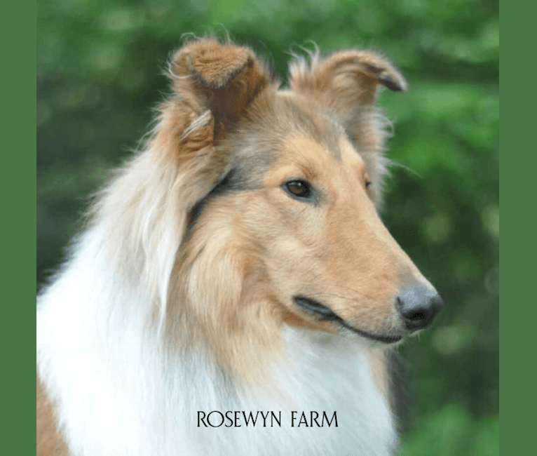 Photo of Andy, a Collie (Scottish-Type)  in Red Boiling Springs, Tennessee, USA