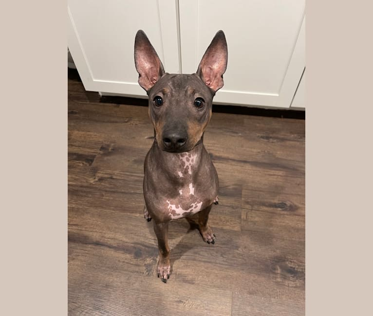 Photo of Xander, an American Hairless Terrier  in Texas, USA