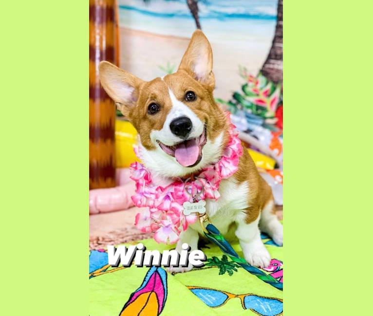 Photo of Winnie B Wigglebottom 🐾, a Pembroke Welsh Corgi  in Manheim, PA, USA