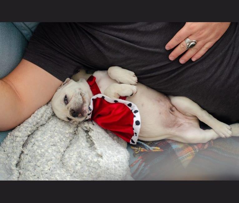 Photo of Quincy, a French Bulldog (9.4% unresolved) in Tijuana, Baja California, Mexico