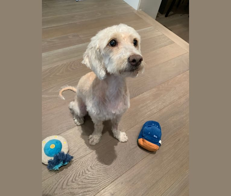 Photo of Rocky, a Poodle (Small), Cocker Spaniel, and Bichon Frise mix in New York, New York, USA