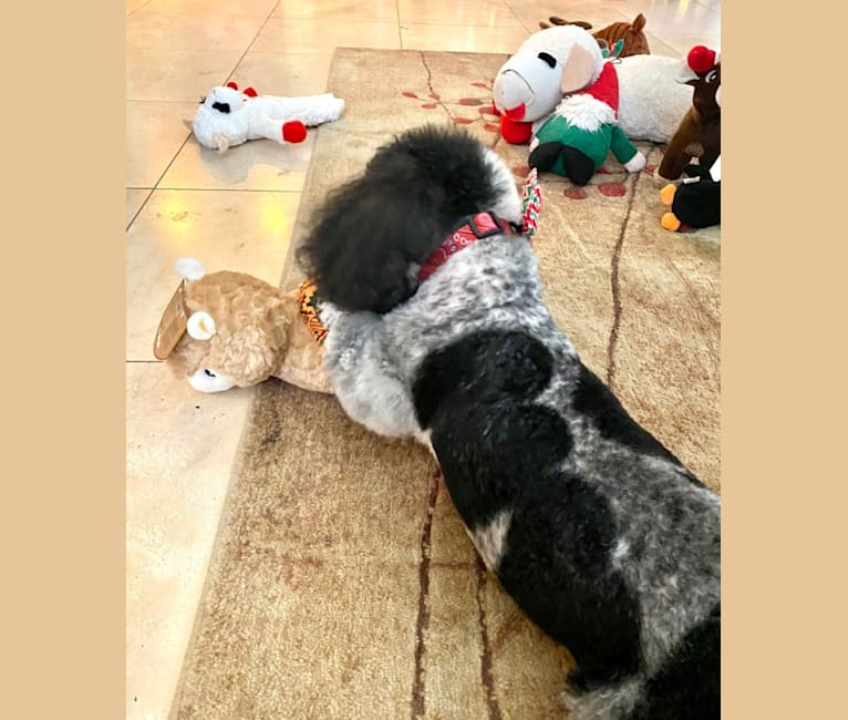 Photo of Micah, a Bichon Frise and Poodle (Small) mix in Mexico City, Mexico