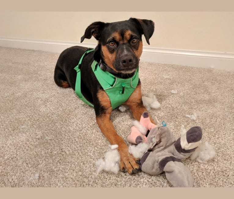 Photo of Irma, an Australian Cattle Dog, Rottweiler, American Pit Bull Terrier, and Mixed mix in Melrose, Florida, USA