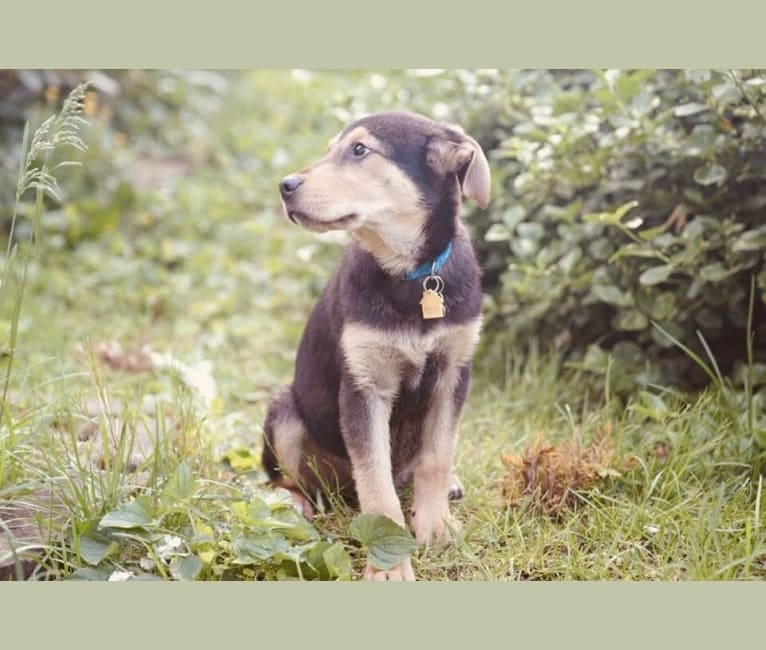 Photo of Leon, a Maremma Sheepdog, Labrador Retriever, Collie, American Pit Bull Terrier, and Boxer mix in Grundy, VA, USA