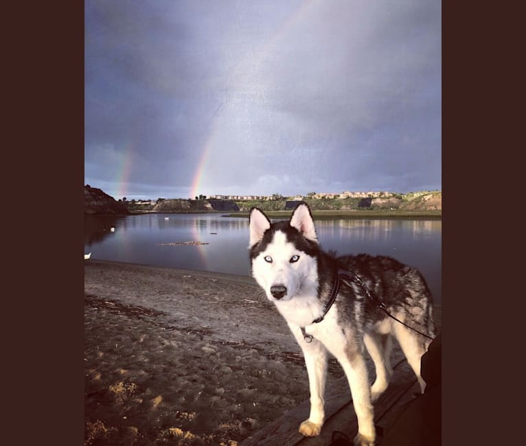 Photo of Niko, a Siberian Husky mix in Costa Mesa, California, USA