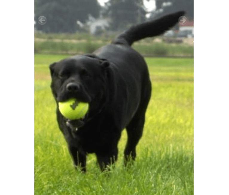 Photo of Opie, a Labrador Retriever  in Fruitland, ID, USA