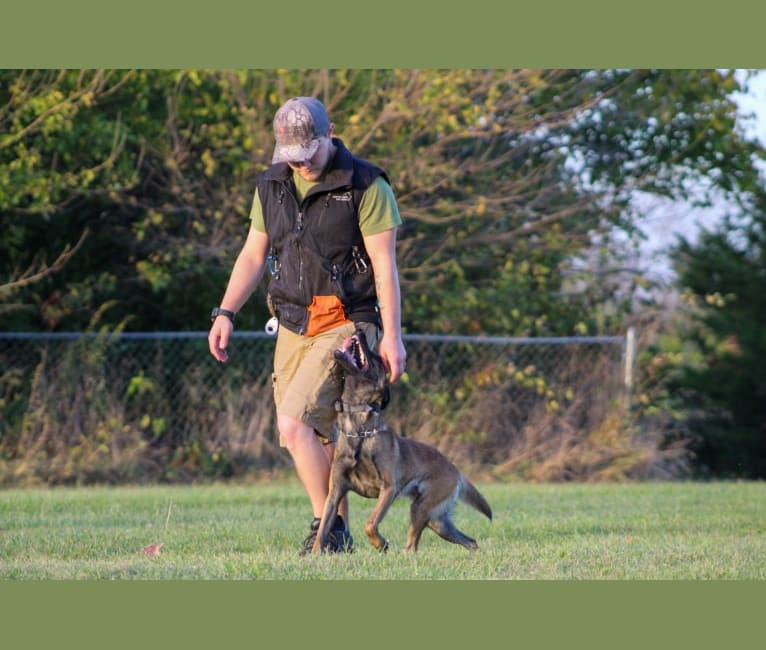Photo of Rhoxane, a Belgian Shepherd  in Seymour, MO, USA