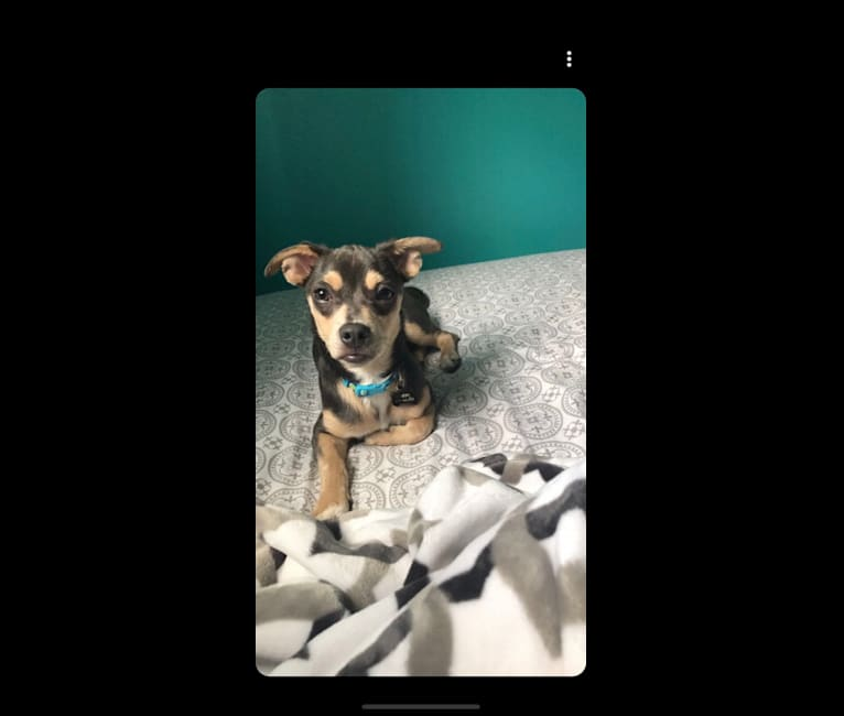 Photo of Tukkie, a Chihuahua, Pekingese, Pomeranian, and Mixed mix in Rapid City, South Dakota, USA
