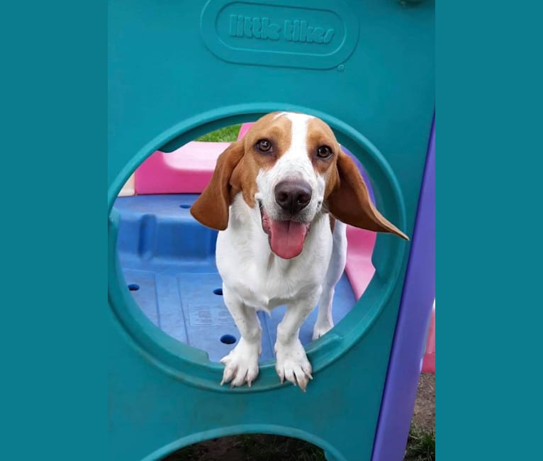 Photo of Ralphie, a Beagle  in Missouri, USA