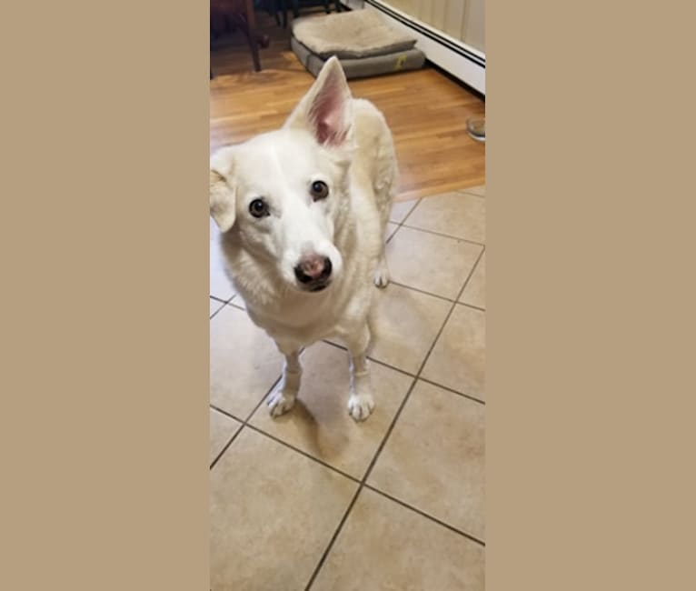 Photo of Ghost, a Siberian Husky, German Shepherd Dog, and Mixed mix in Puerto Rico