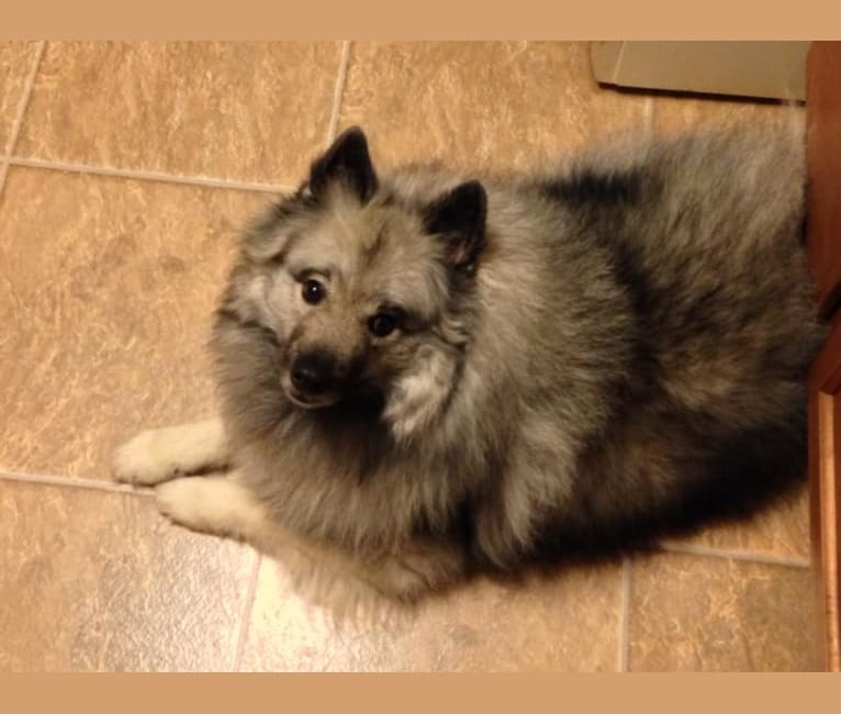Photo of Cubby, a Keeshond  in Groton, New York, USA