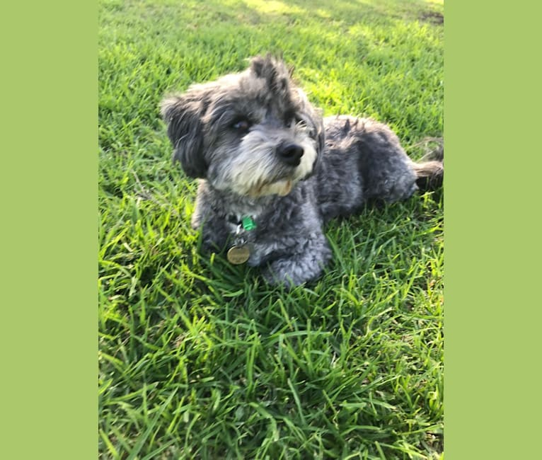 Photo of Gordie, a Shih Tzu, Maltese, Pomeranian, and Russell-type Terrier mix in Yarraville, Victoria, Australia