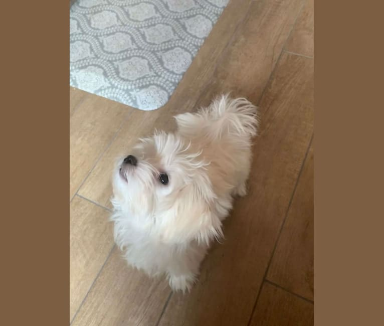 Photo of Aspen John Pollock, a Maltese