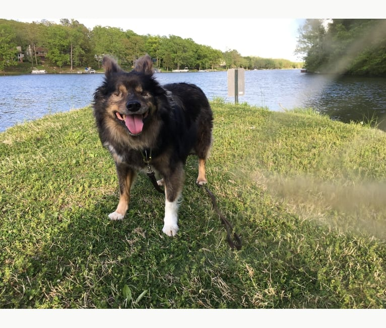 Photo of Yowie, an American Eskimo Dog and Chihuahua mix in St. Louis, Missouri, USA