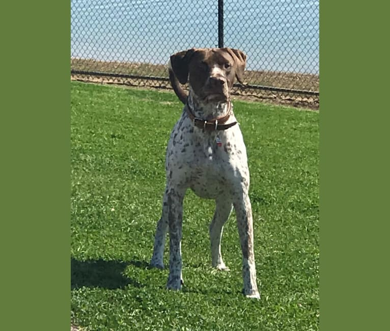 Photo of Arrow, a German Shorthaired Pointer, American Pit Bull Terrier, and Pointer mix in Cypress, Texas, USA