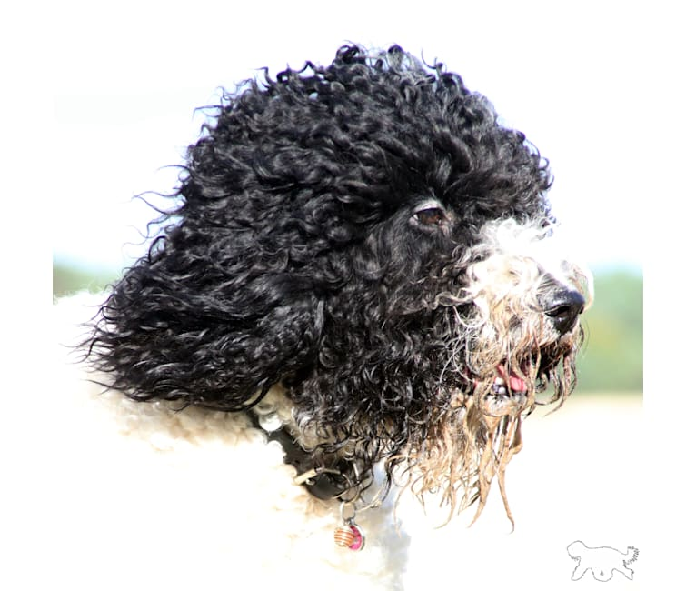Photo of Cait, a Barbet