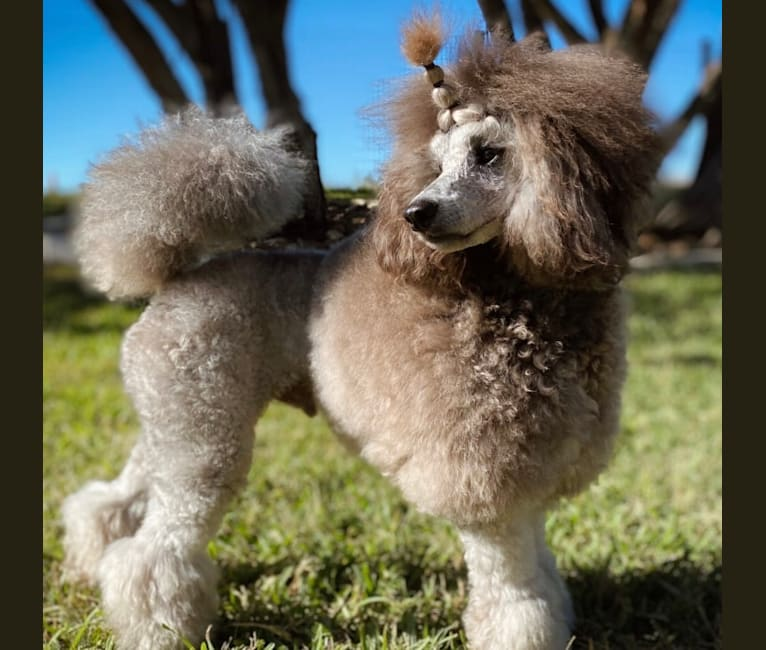 Photo of Tate, a Poodle (Small)  in San Antonio, TX, USA