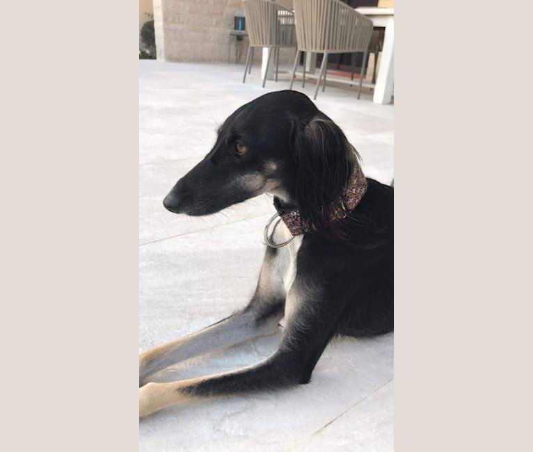 Photo of Samra, a Saluki  in Abu Dhabi - United Arab Emirates