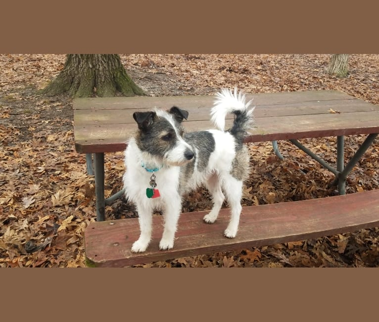 Photo of Abbott, a Chihuahua, Shih Tzu, Miniature Schnauzer, Rat Terrier, American Eskimo Dog, Cocker Spaniel, and Mixed mix in Tennessee, USA