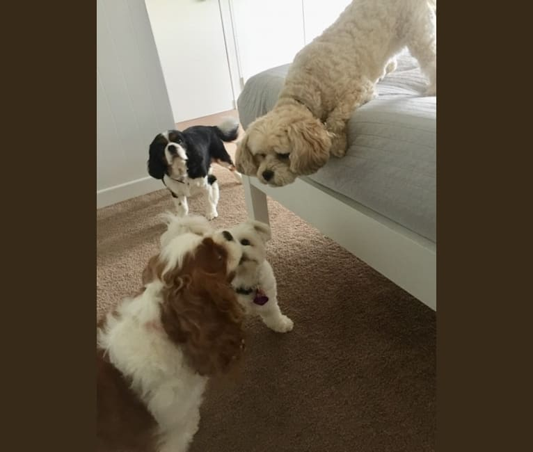 Photo of Wicky, a Lowchen, Bichon Frise, and Japanese Chin mix in New Zealand