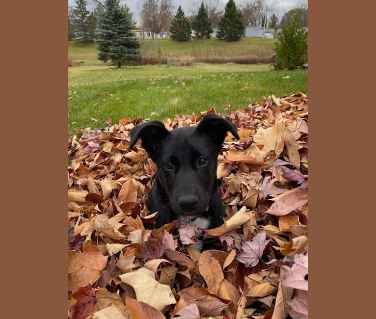Photo of Wrigley, a Labrador Retriever, Australian Cattle Dog, German Shepherd Dog, Siberian Husky, and Mixed mix in South Dakota, USA