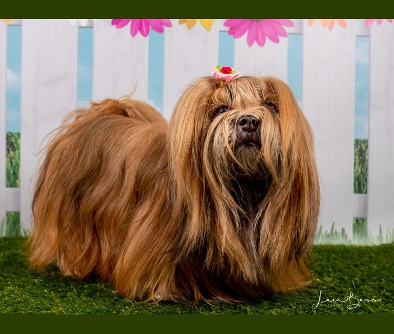 Photo of Caroline, a Lhasa Apso  in New Jersey, USA
