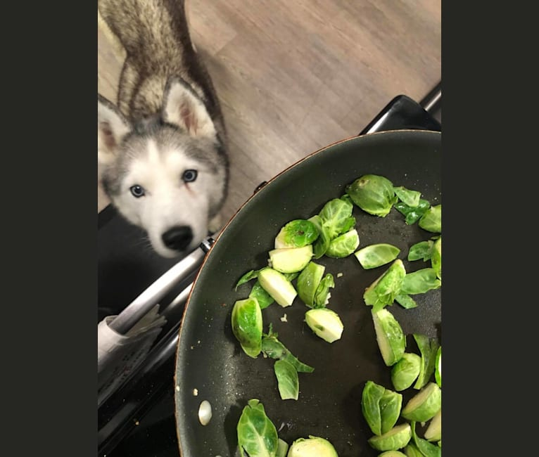 Photo of Kana, a Siberian Husky  in Los Angeles, California, USA