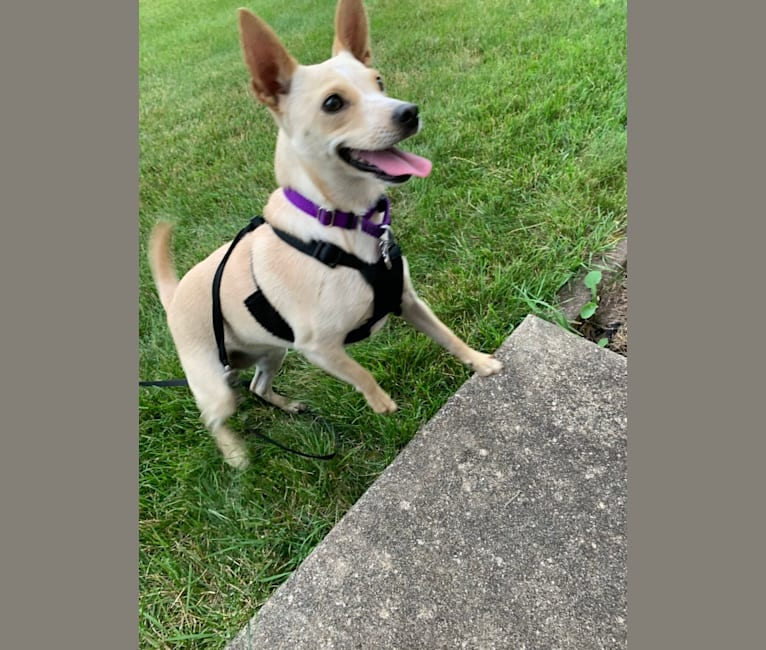 Photo of Nellie, an Australian Cattle Dog, Miniature Schnauzer, Russell-type Terrier, Pomeranian, and Mixed mix in Missouri, USA