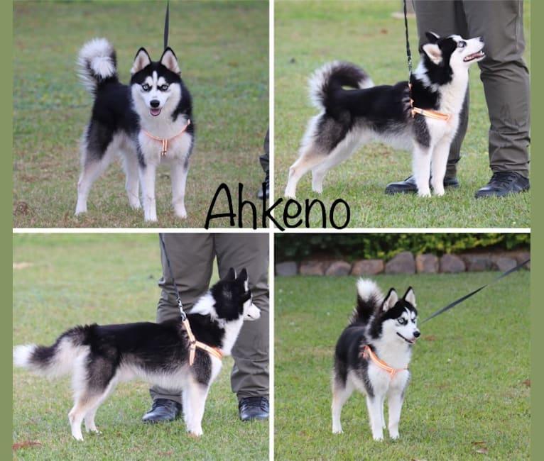 Photo of Ahkeno-F3, a Pomsky  in Saint Francis, MN, USA