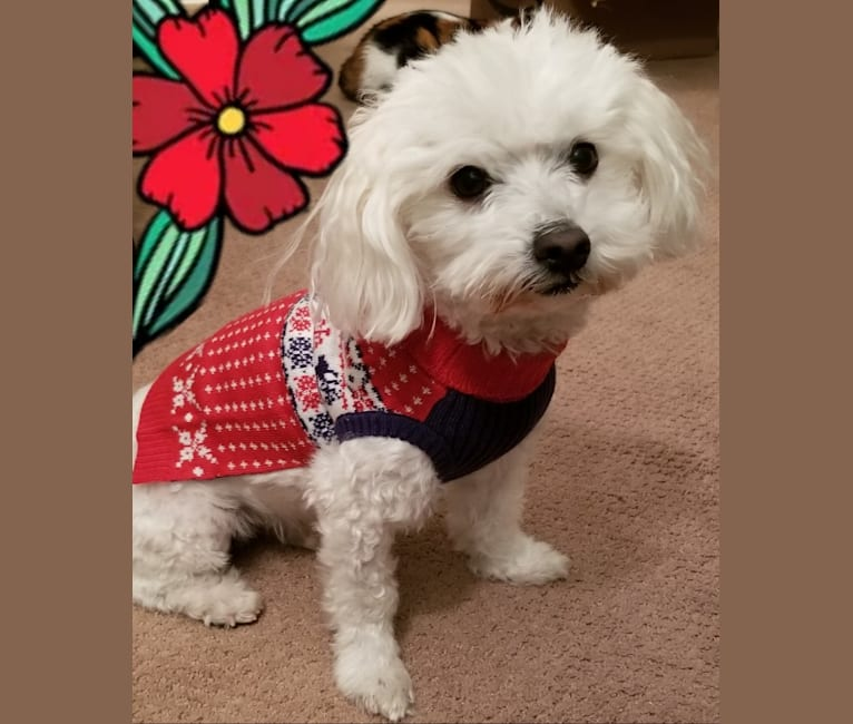 Photo of Kirk, a Maltese  in Maryland, USA