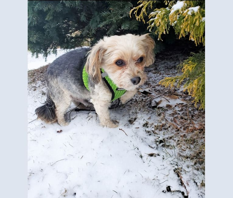Photo of Mahrli, a Bichon Frise and Yorkshire Terrier mix in Canton, Ohio, USA